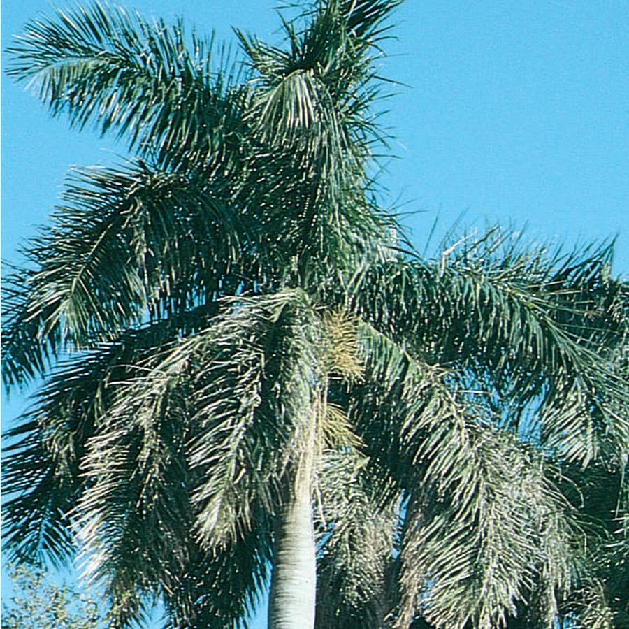 3.58-Gallon Florida Royal Palm (L0049)
