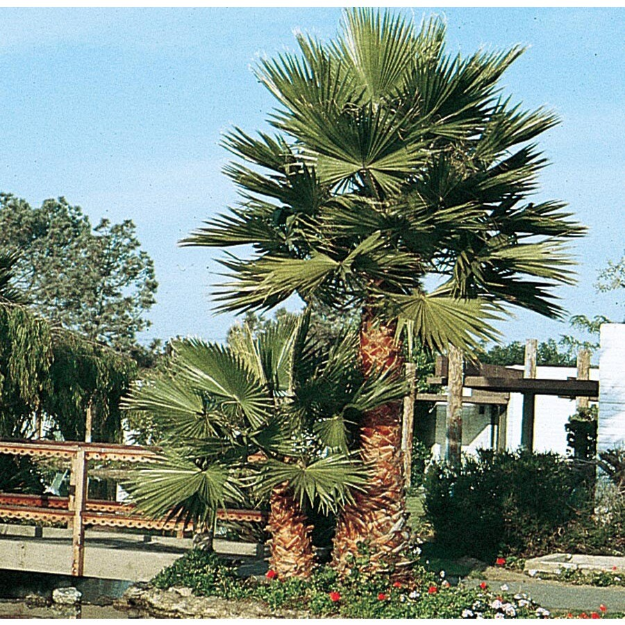 3.58-Gallon Mexican Fan Palm Feature Tree (L3048)