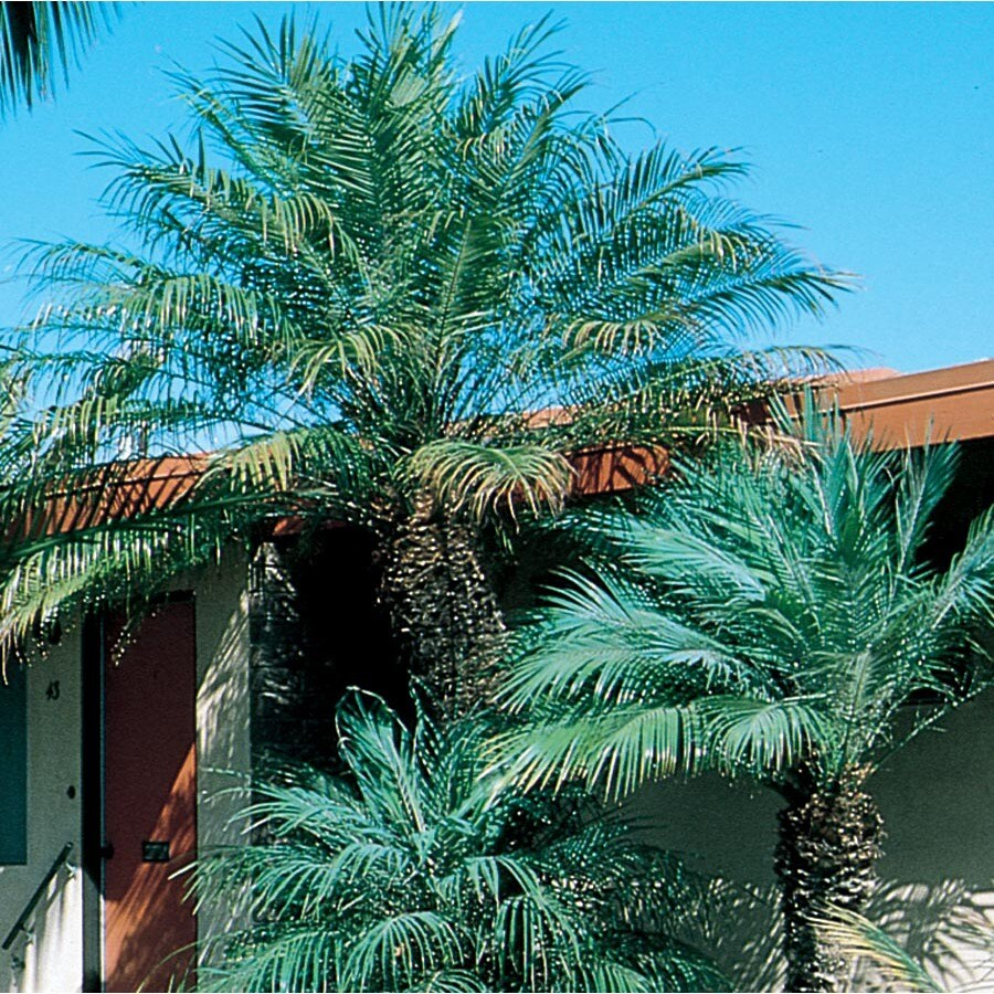 12.33-Gallon Pygmy Date Palm (L7542)