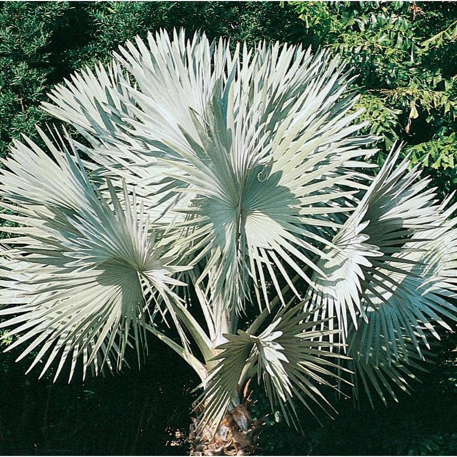 12.33-Gallon Bismarckia Palm (L14163)