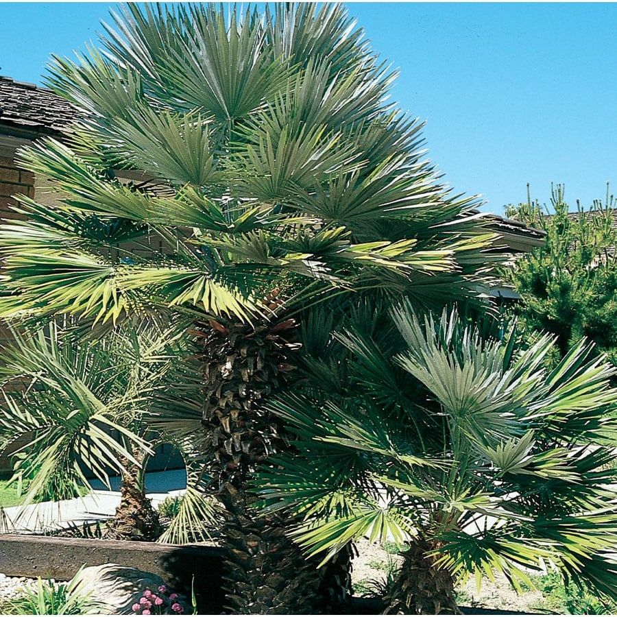 19.09-Gallon European Fan Palm (L9064)