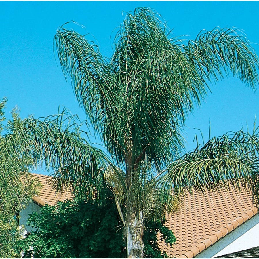 19.09-Gallon Queen Palm Feature Tree (L5784)