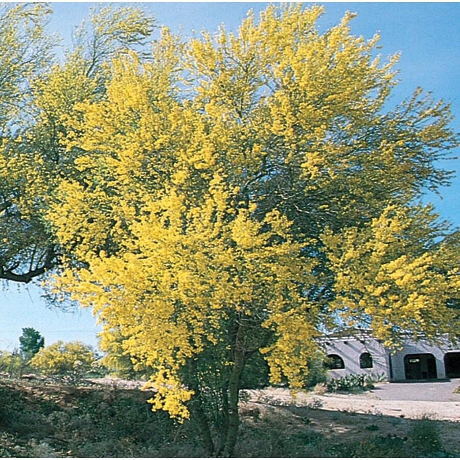 27.17-Gallon Blue Palo Verde Feature Tree (L4007)