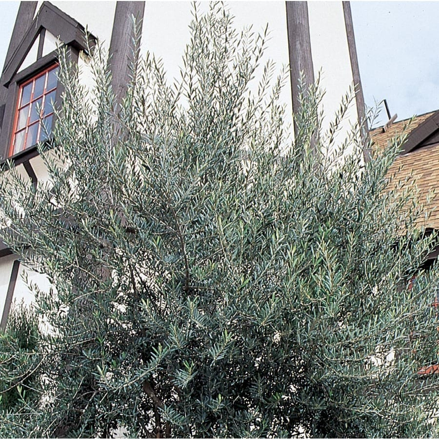 27.17-Gallon European Olive Feature Tree (L14921)
