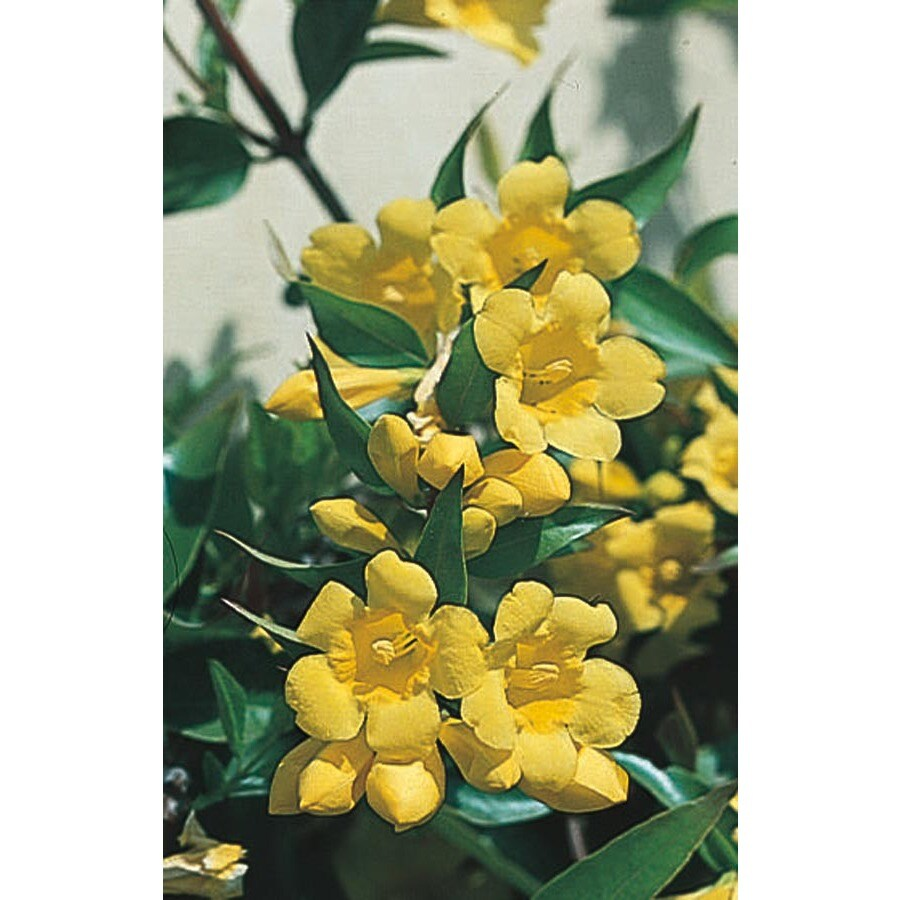 2.25-Gallon Carolina Jessamine (L7472)