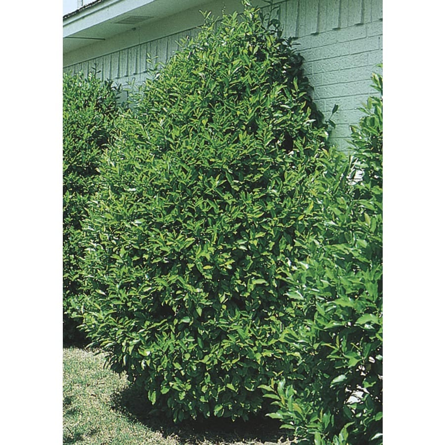 2.25-Gallon Carolina Cherry Laurel Screening Tree (L11188)