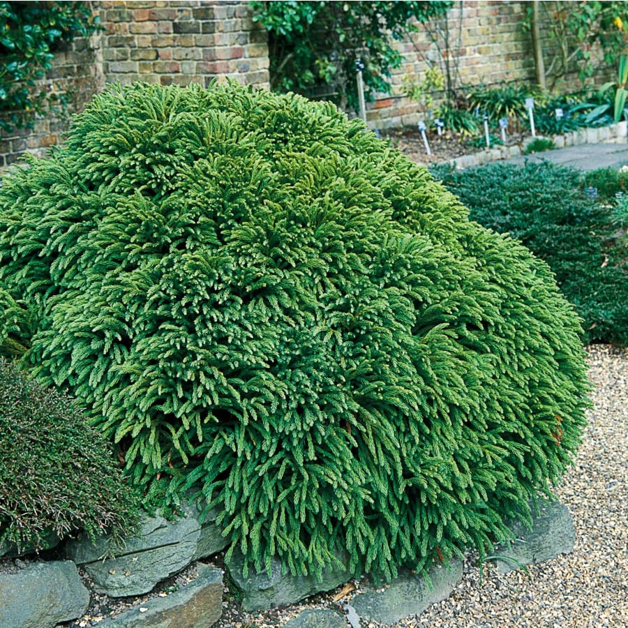 Shop dwarf cryptomeria accent shrub lw02535 for Garden shrubs