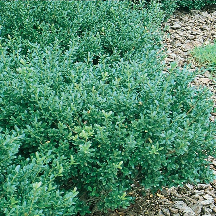 5.5-Gallon Compact Japanese Holly Foundation/Hedge Shrub (L5284)