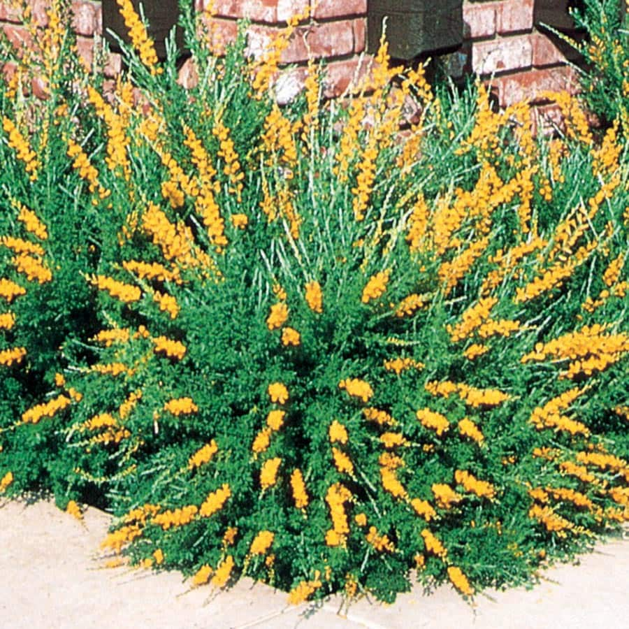 2.5-Quart Yellow Sweet Broom Flowering Shrub (L3064)