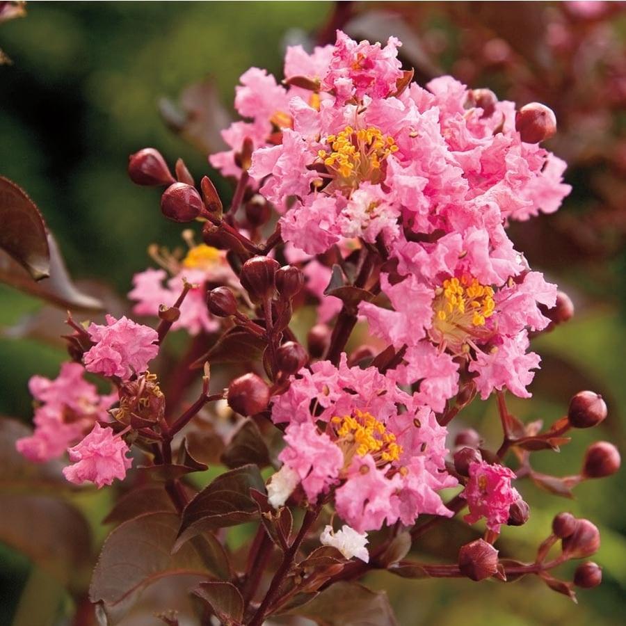 5.5-Gallon Delta Jazz Crape Myrtle Flowering Tree (L23457)