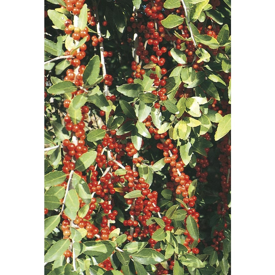 3-Gallon Scarlet's Peak Yaupon Holly Feature Shrub (L24764)