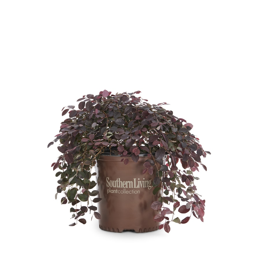 2-Gallon Pink Loropetalum Accent Shrub