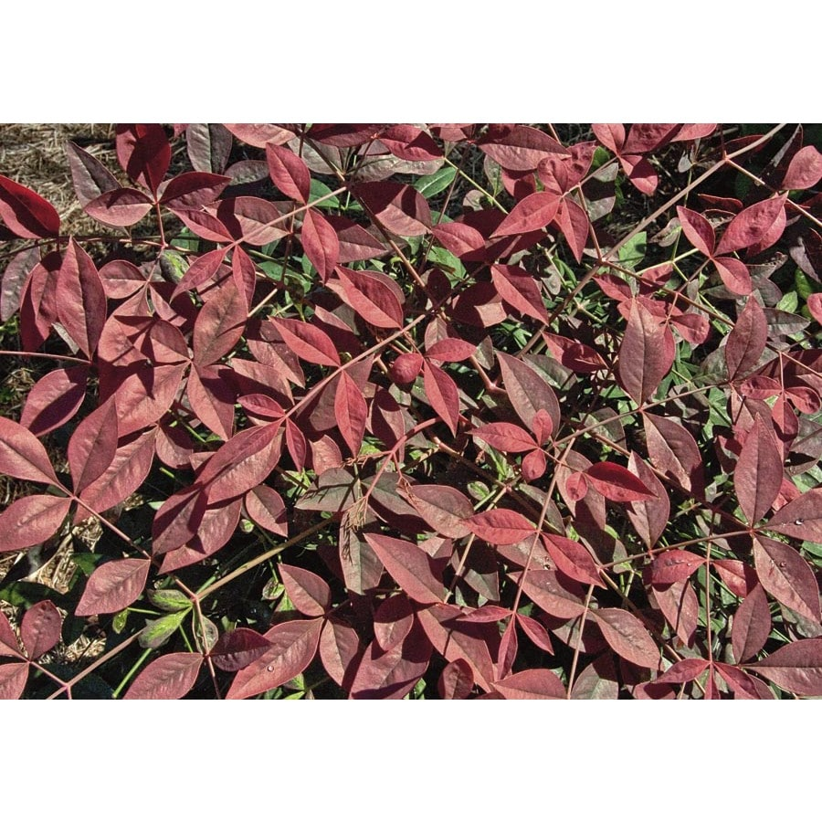 3-Gallon Flirt Nandina Accent Shrub (L23338)