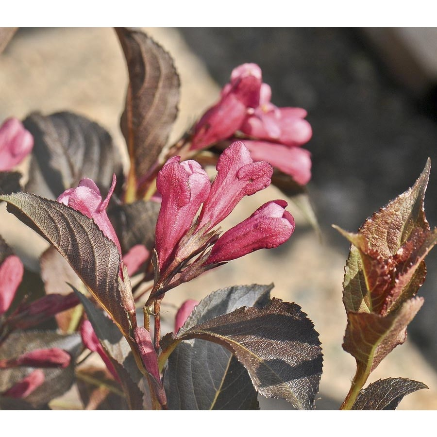 3-Gallon Pink Shining Sensation Weigela Flowering Shrub (L23877)