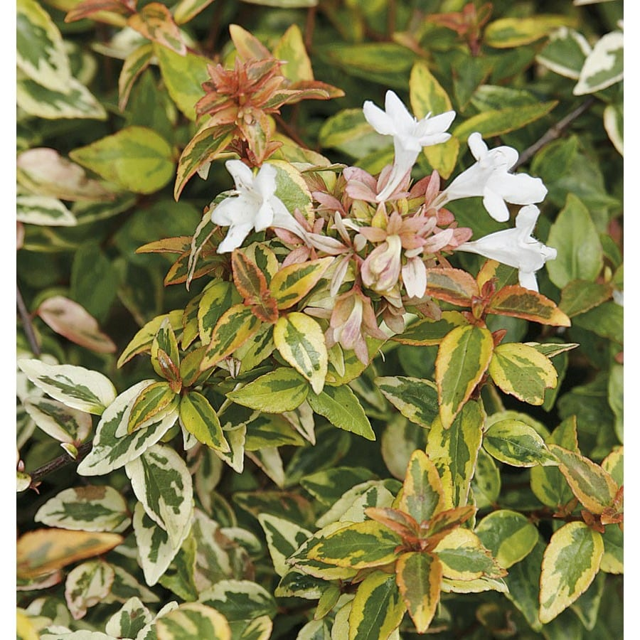 shop 3 gallon white kaleidoscope abelia flowering shrub. Black Bedroom Furniture Sets. Home Design Ideas