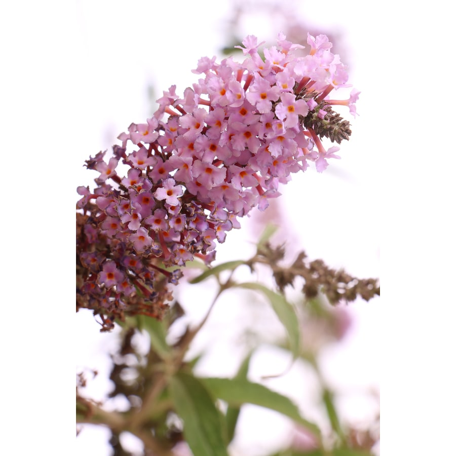 2-Quart Butterfly Bush