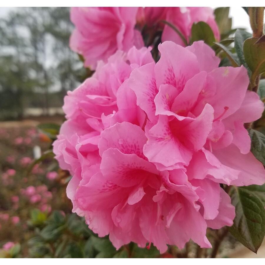 Encore Azalea 1 Gallon Pink Autumn Carnation Flowering Shrub In Pot In The Shrubs Department At Lowes Com