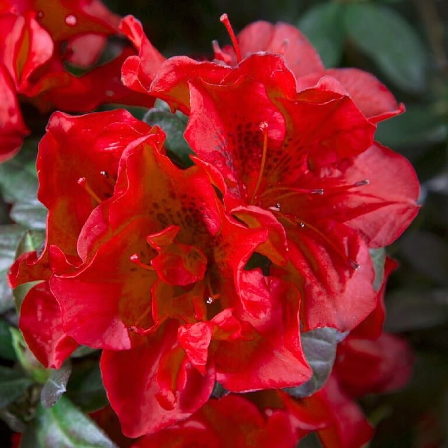 Encore Azalea 1 Gallon 2 Pack Red Autumn Fire Flowering Shrub In Pot In The Shrubs Department At Lowes Com