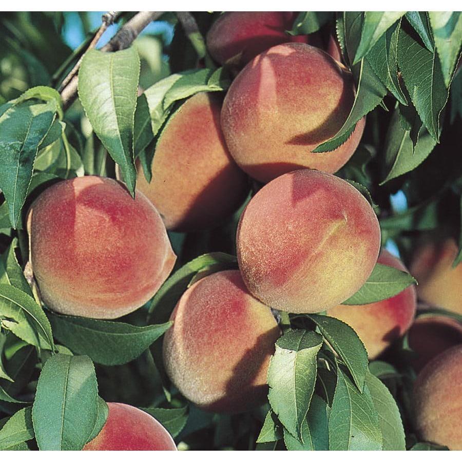 Dwarf Peach Tree L5481 At Lowes Com