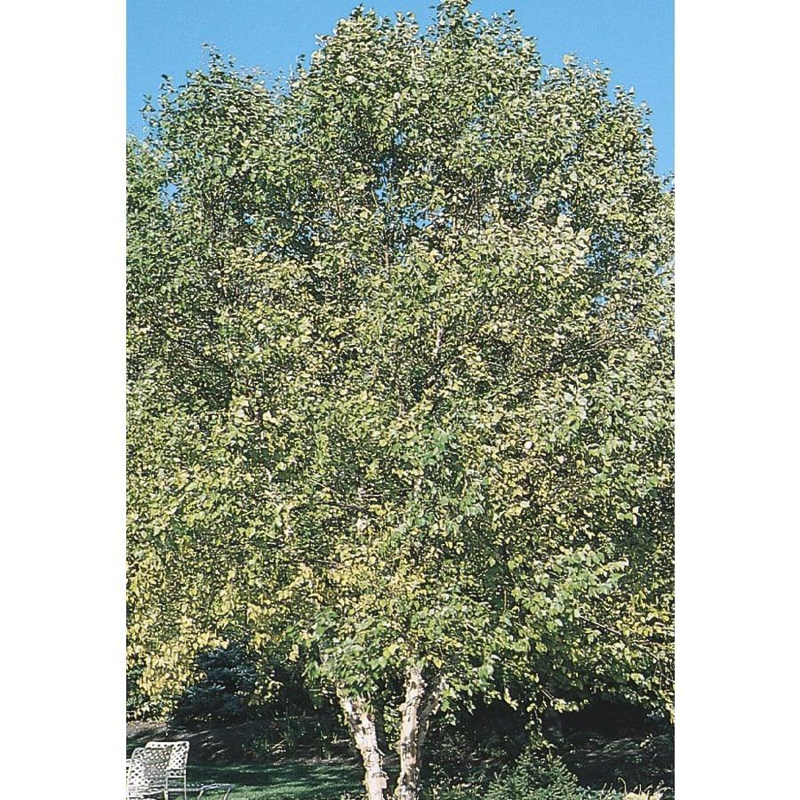 Clump River Birch Feature Tree (L1131)