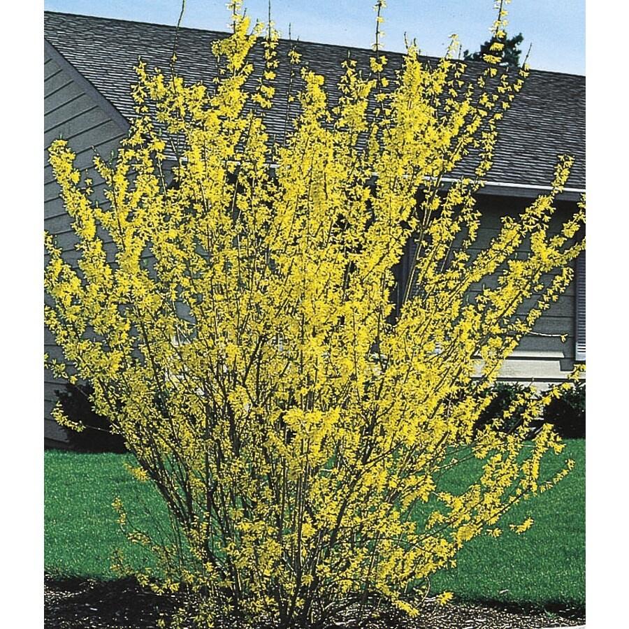 Yellow Forsythia Flowering Shrub (L3184)