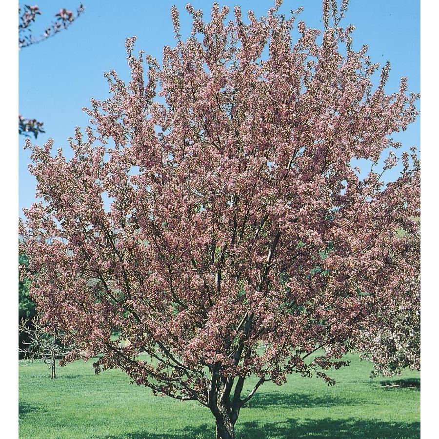 Flowering Crabapple Flowering Tree (L5985)