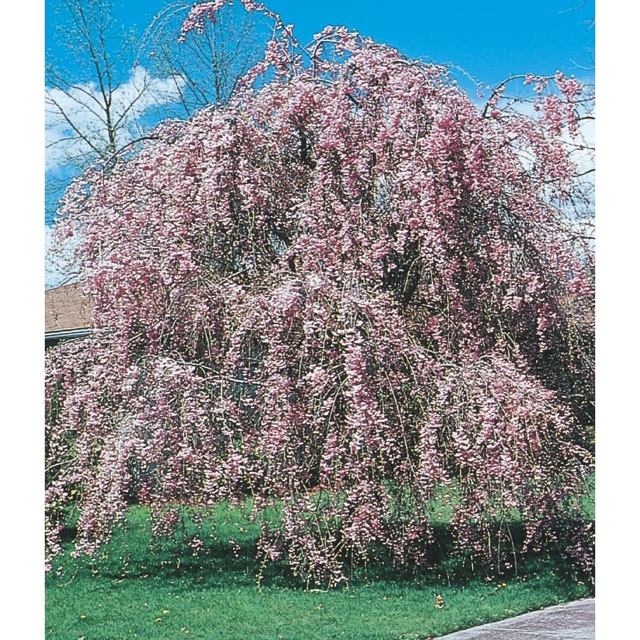 Pink Weeping Cherry Feature Tree (L1010)