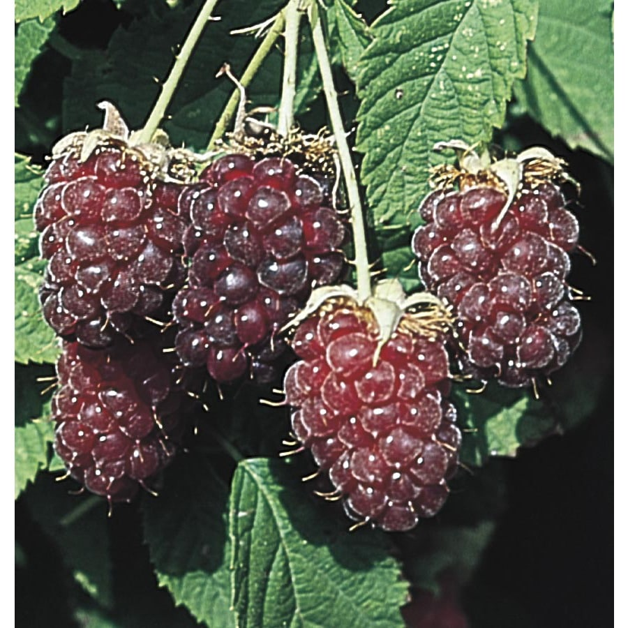 Black Raspberry Small Fruit (LW01698)