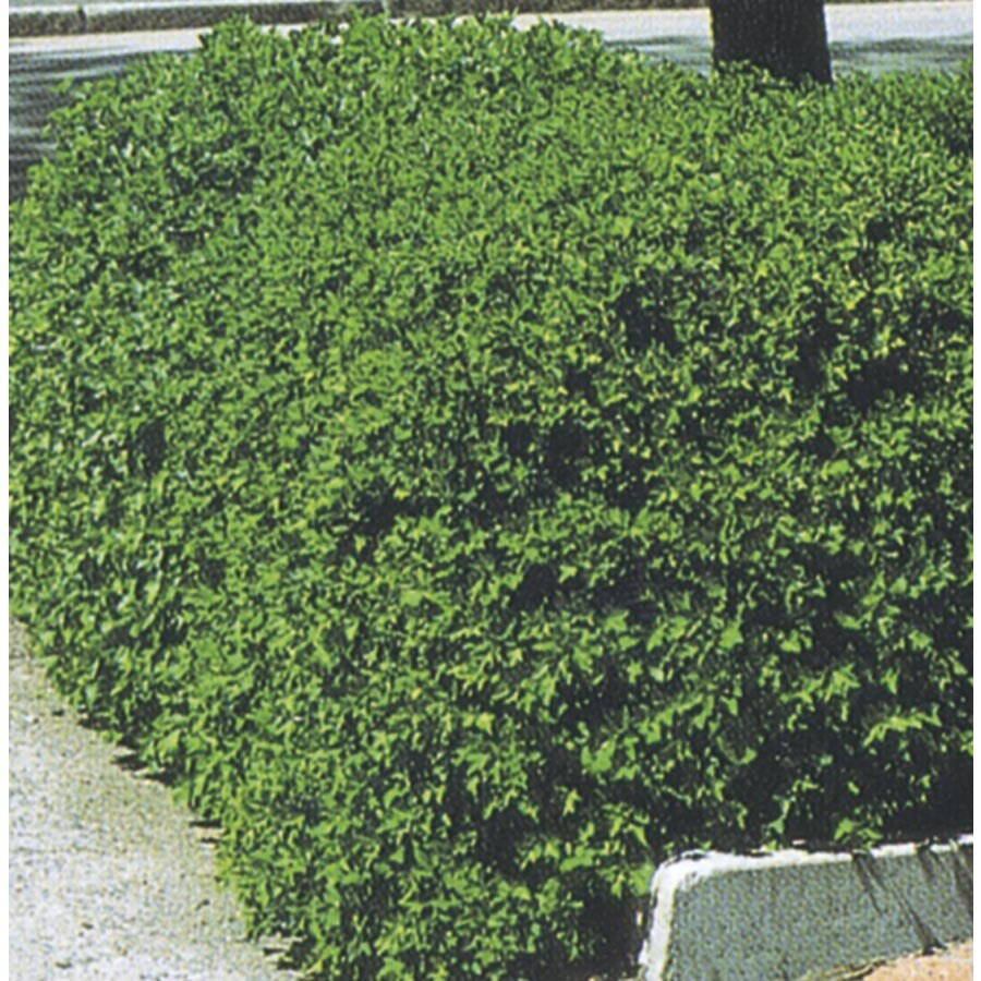 Alpine Currant Accent Shrub (L4245)