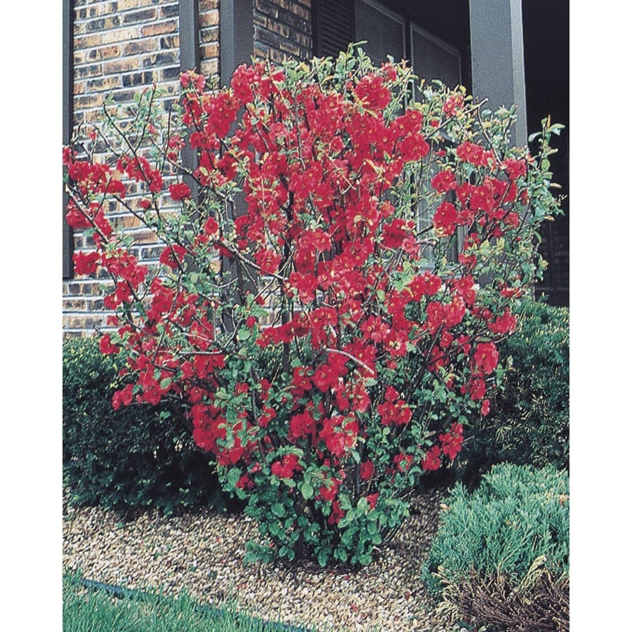 Red Red Flowering Quince Flowering Shrub (L1217)