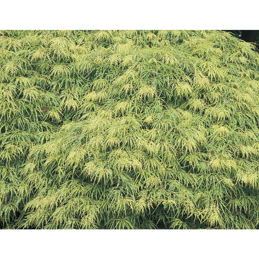 12.07-Gallon Laceleaf Japanese Maple Feature Tree (L11472)