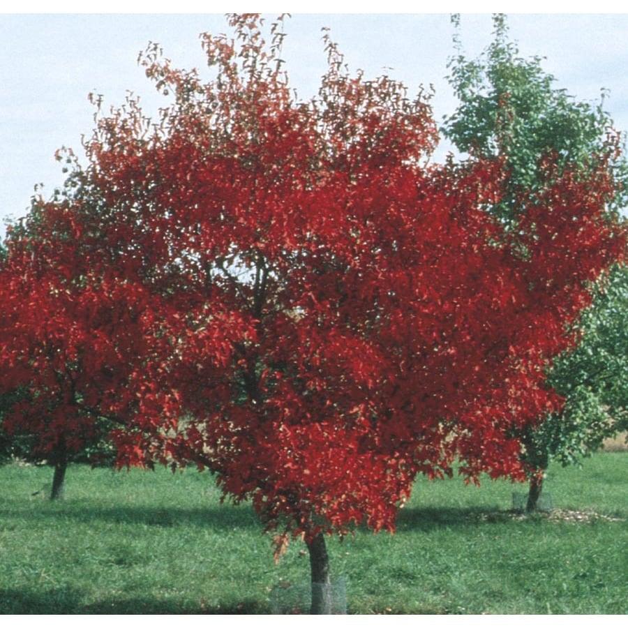 9.55-Gallon Amur Maple Shade Tree (L7792)