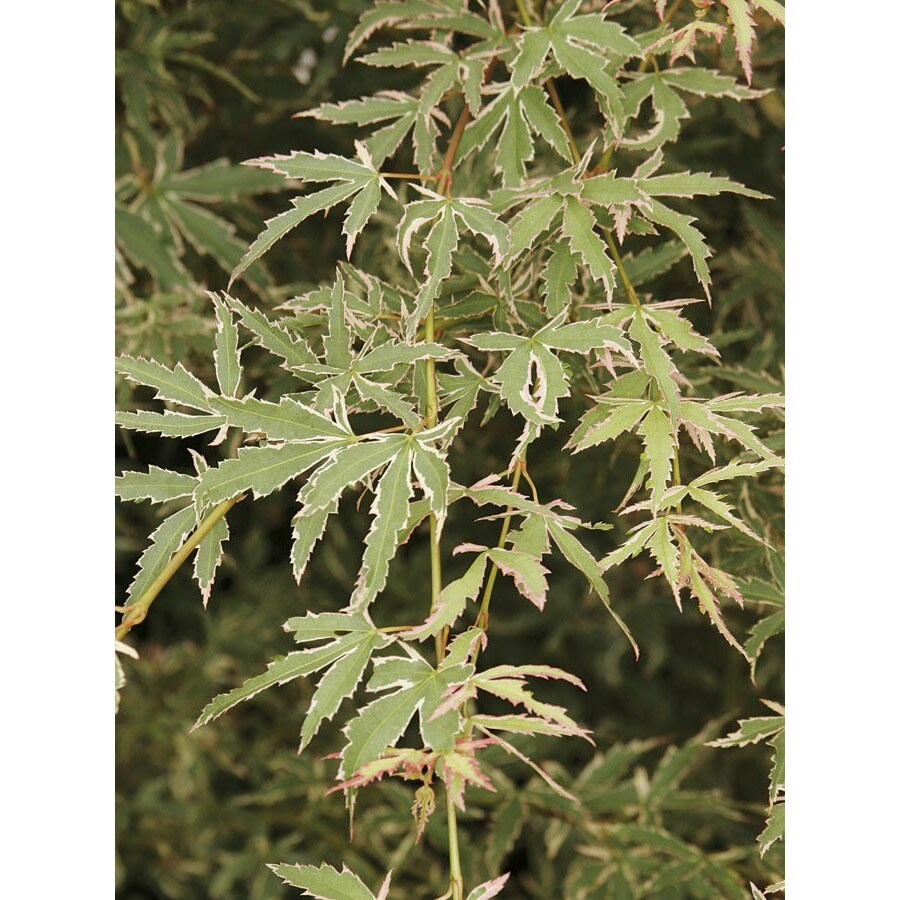 5.98-Gallon Butterfly Japanese Maple Feature Tree (L7725)