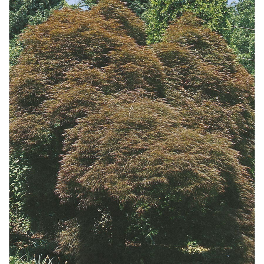 5.98-Gallon Lion Heart Japanese Maple Feature Tree (L2346)