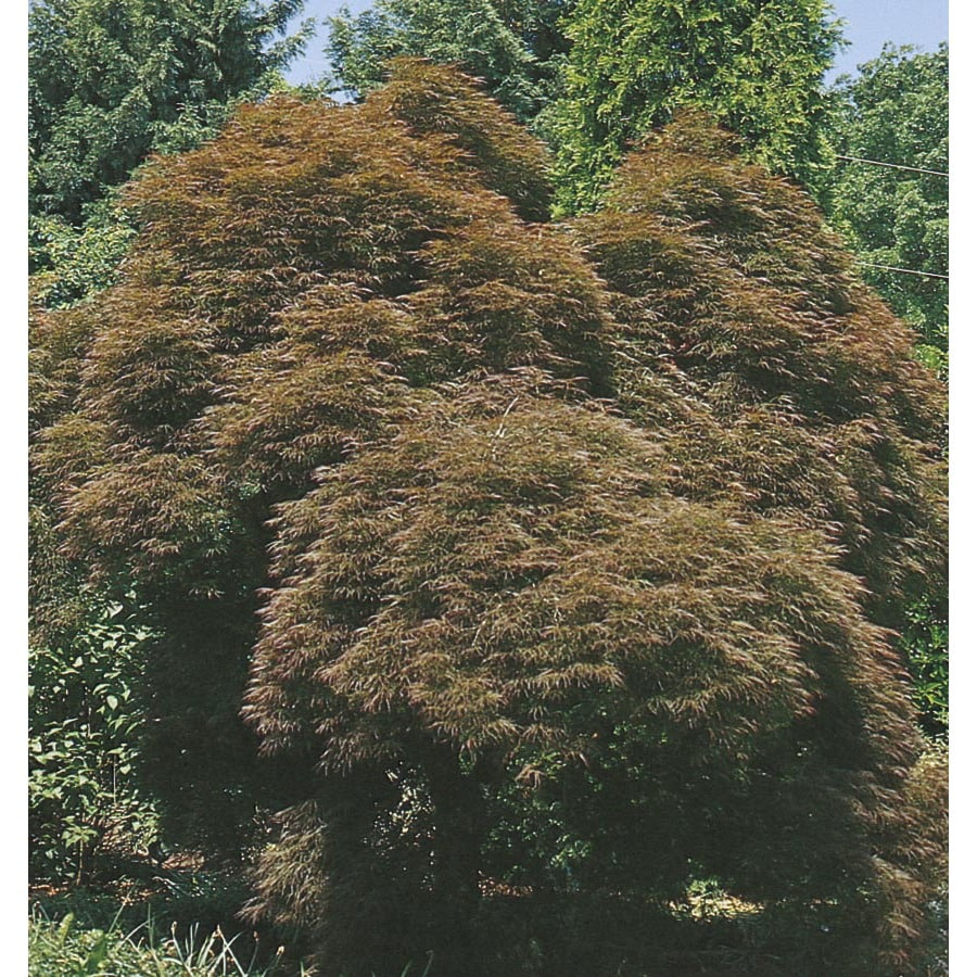 9-Gallon Lion Heart Japanese Maple Feature Tree (L2346)