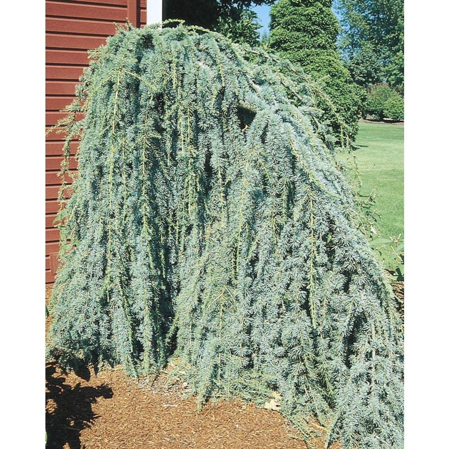 19.5-Gallon Weeping Blue Atlas Cedar Feature Tree (L8098)