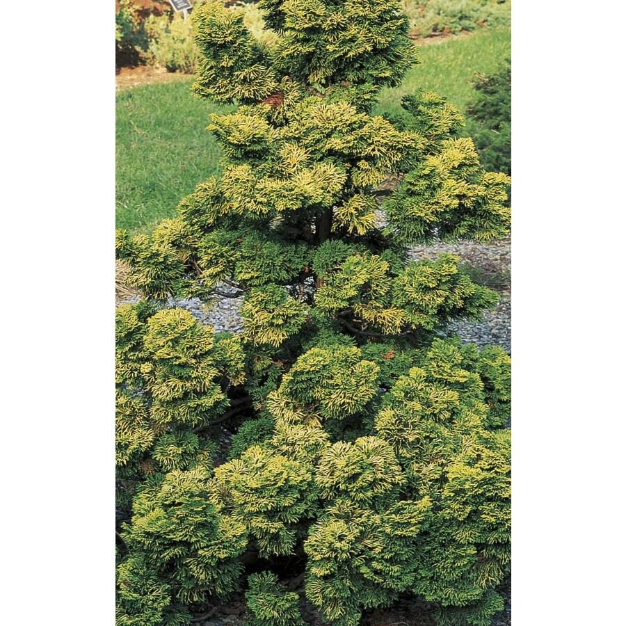 5.98-Gallon Verdoni Hinoki Cypress Feature Shrub (L24029)