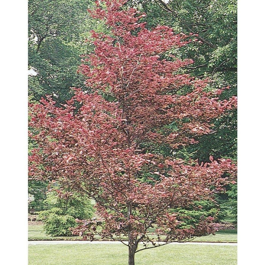 5.98-Gallon Tricolor Beech Feature Tree (L7232)