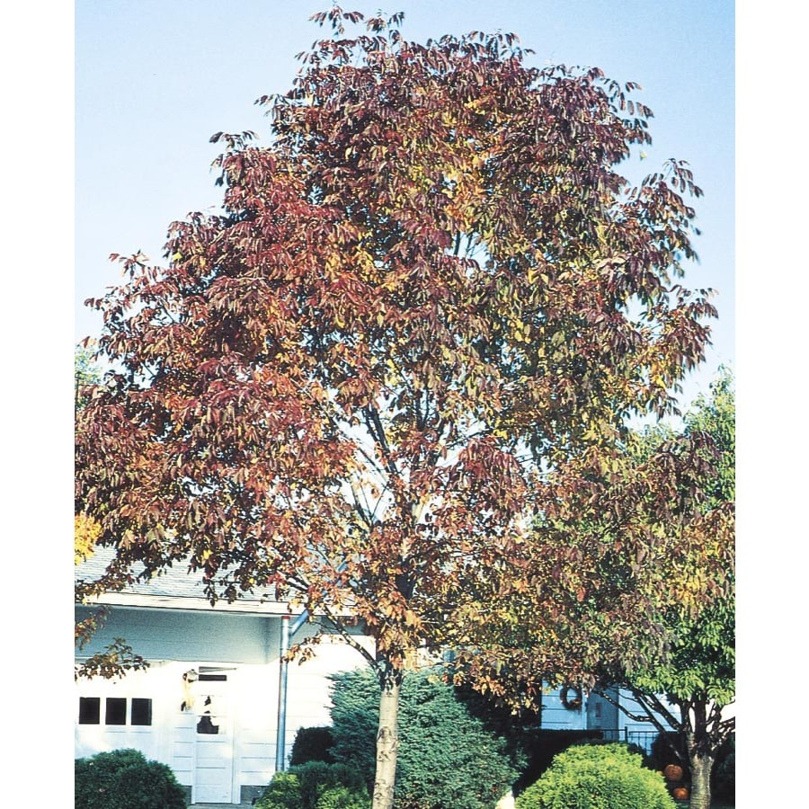 12.07-Gallon Autumn Purple Ash Shade Tree (L4154)