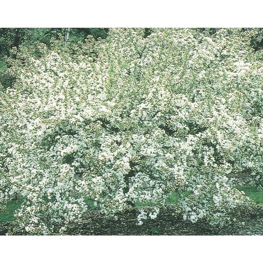 9.55-Gallon Sargent Crabapple Flowering Tree (L1111)