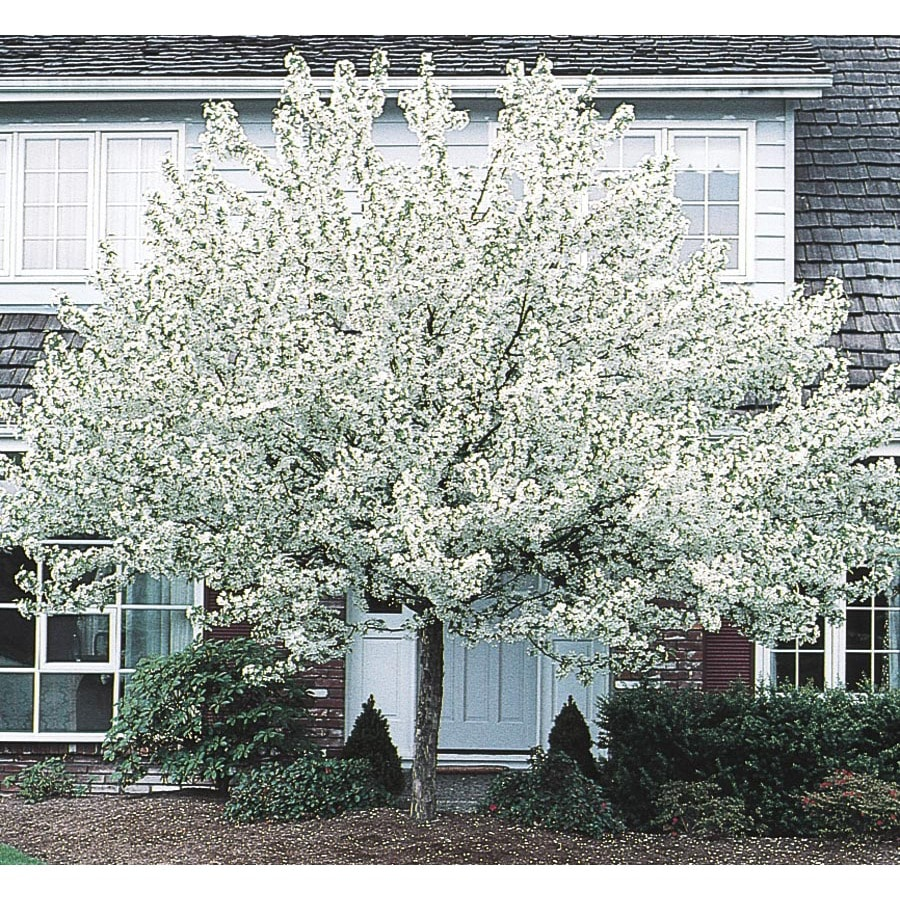 Shop 955 Gallon White Spring Snow Crabapple Flowering Tree In Pot