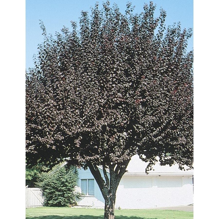 12.07-Gallon Krauter Vesuvius Flowering Plum Flowering Tree (L3635)