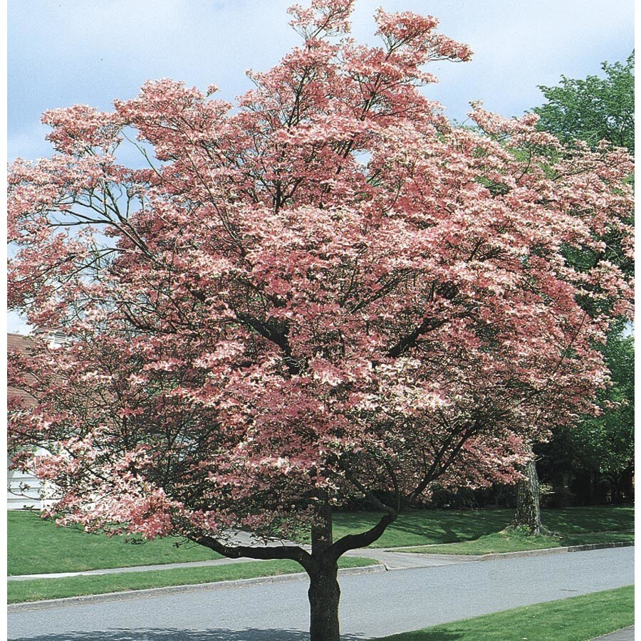 5.98-Gallon Pink Flowering Dogwood Flowering Tree (L3181)