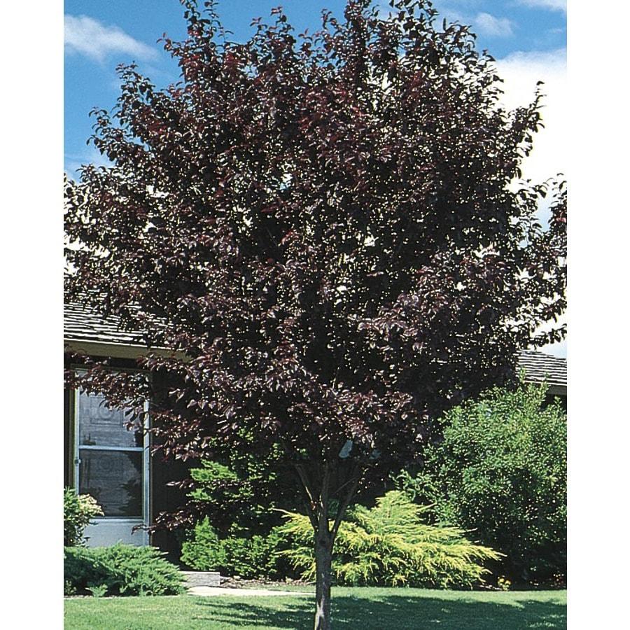 12.07-Gallon Thundercloud Flowering Plum Flowering Tree (L3215)