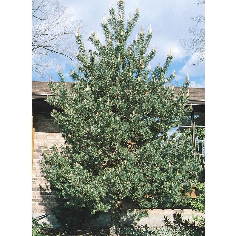 12.07-Gallon Scotch Pine Shade Tree (L3939)