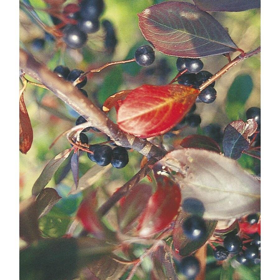 19.78-Gallon White Chokeberry Foundation/Hedge Shrub (L10461)