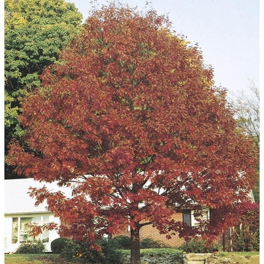 12.07-Gallon Northern Red Oak Shade Tree (L4574)