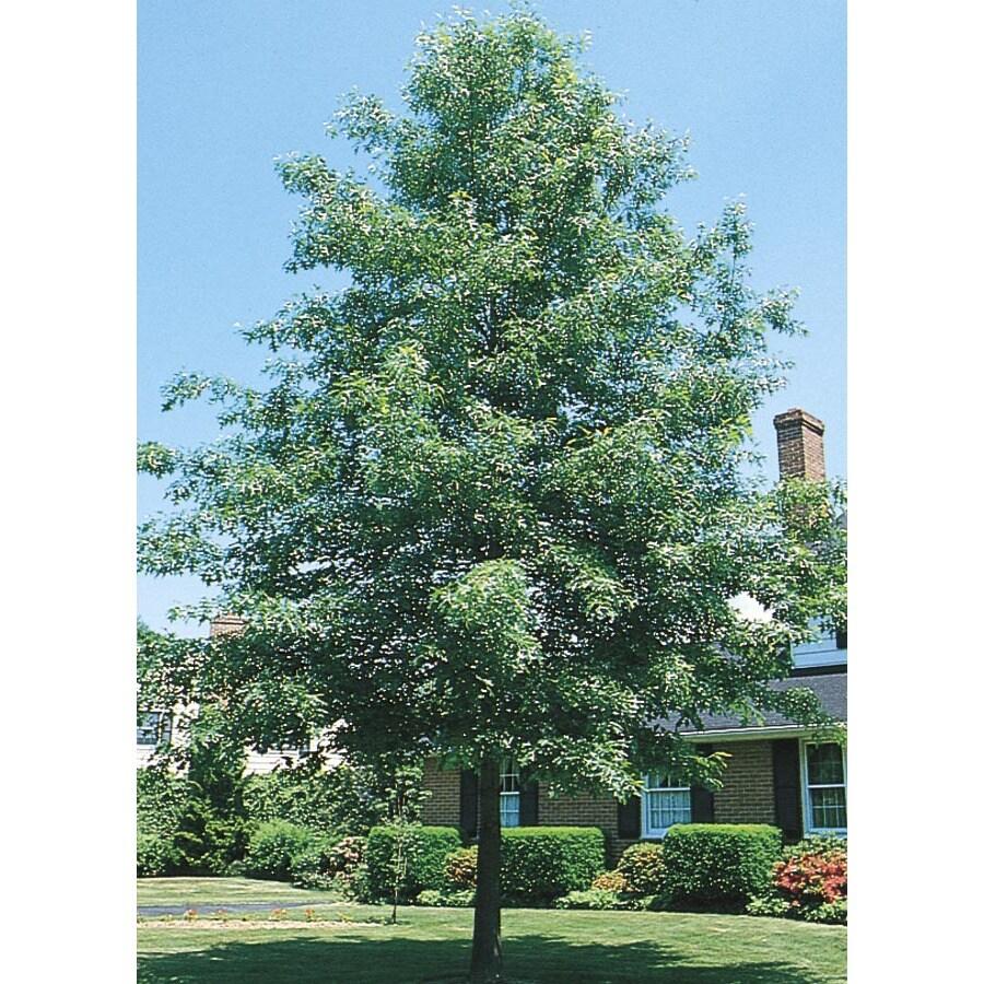 12.07-Gallon Pin Oak Shade Tree (L1097)