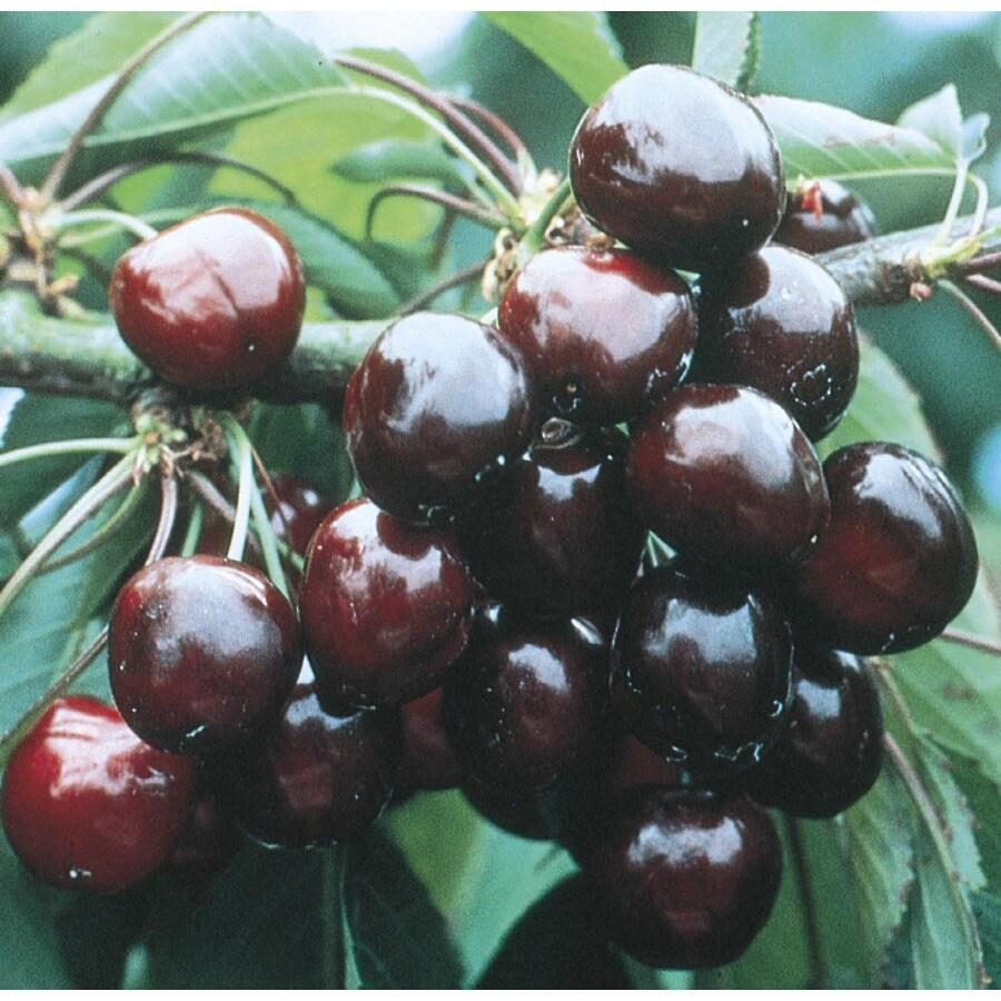 9-Gallon Van Cherry Tree (L6129)