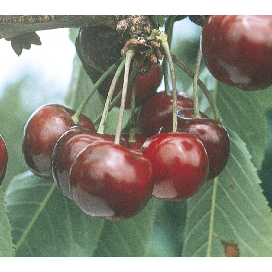 9-Gallon Lapins Sweet Cherry Tree (L10479)